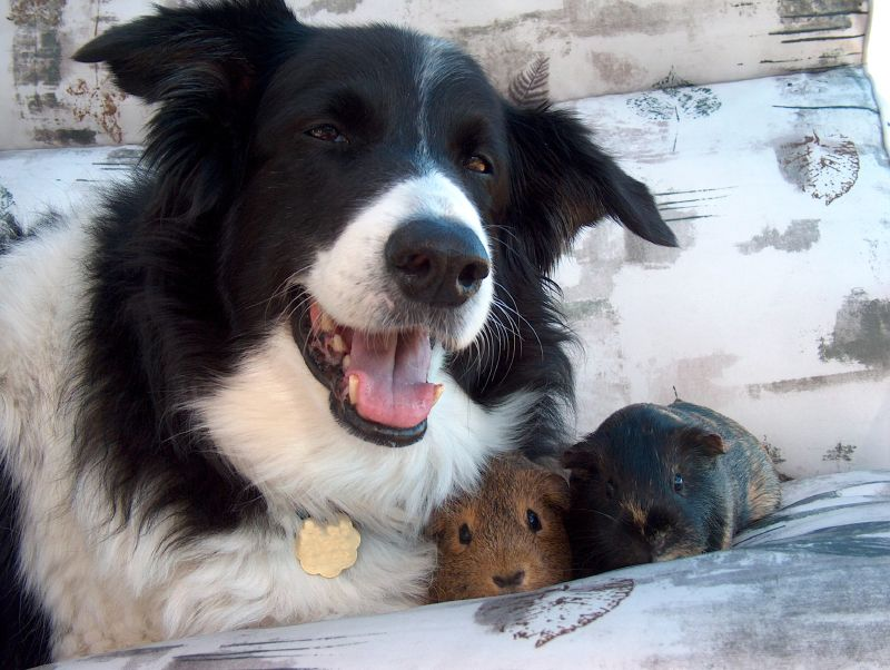 Guinea pig and dog friendship