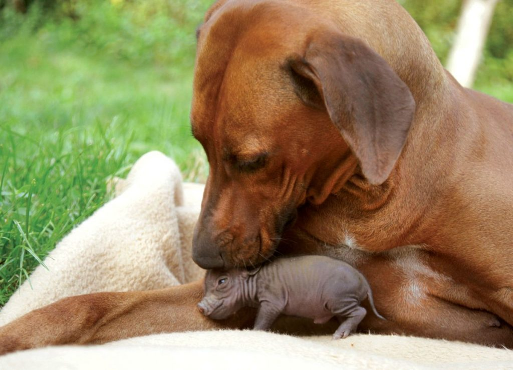 Piglet and dog