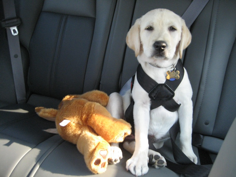 Everything You Need To Know About Dog Car Seat Belts