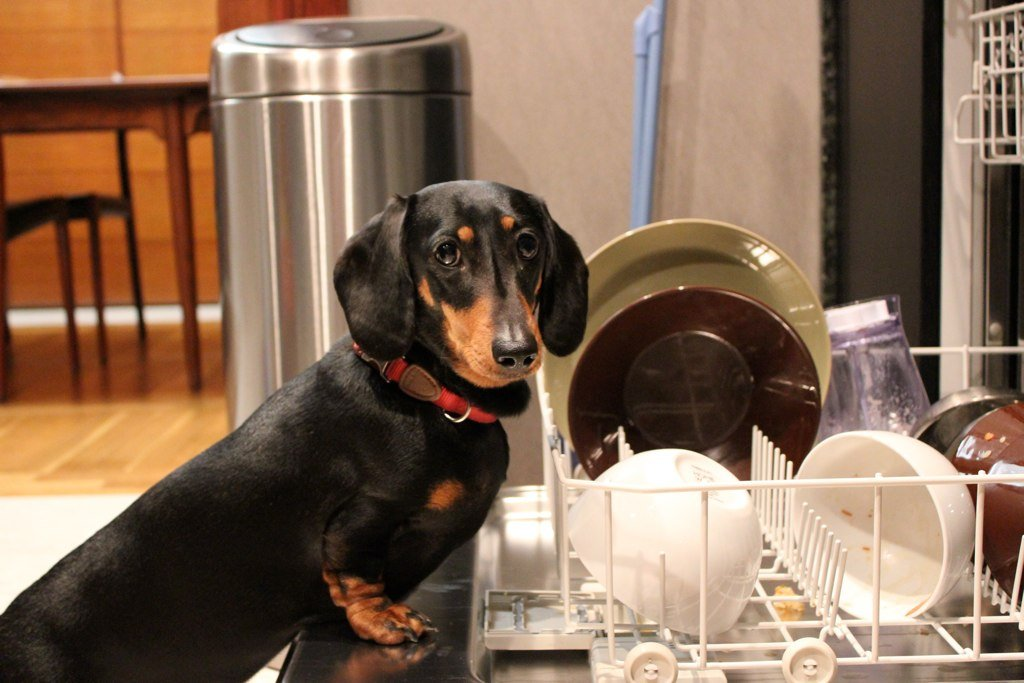 Dog washes dishes