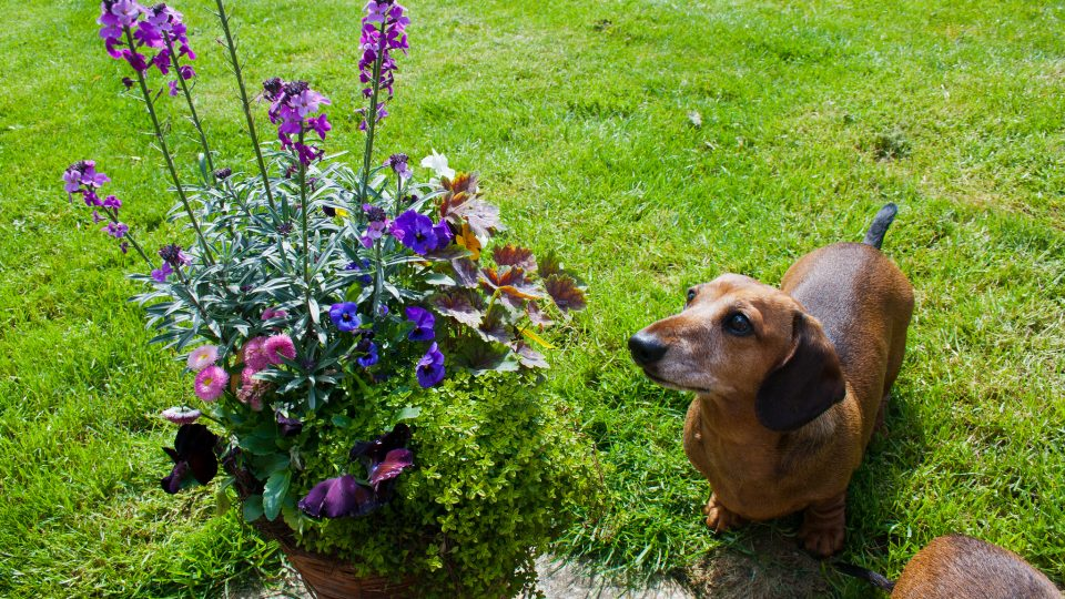 Is Plant Food Poisonous To Dogs
