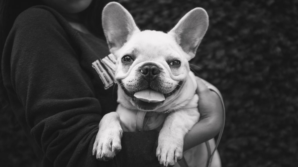 Smiling French bulldog personality