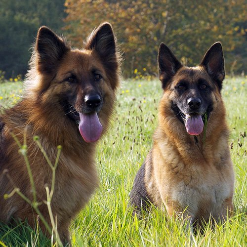 german-shepherd-smartest-dog-breed