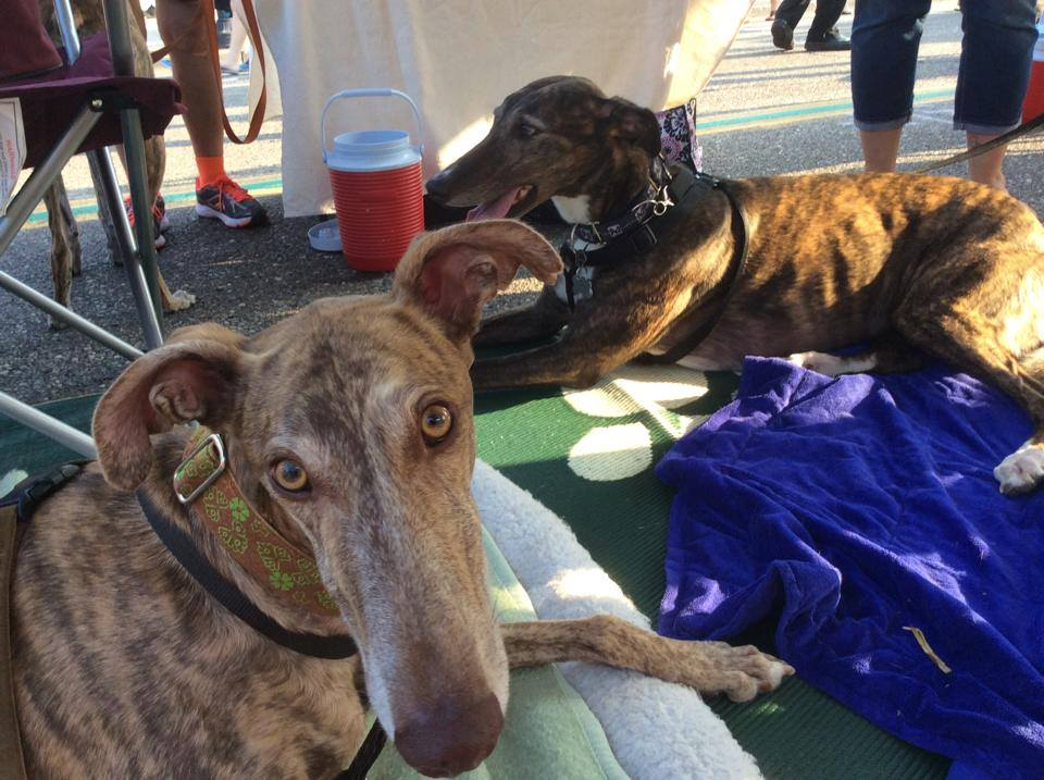 Grateful greyhounds - best dogs for apartments