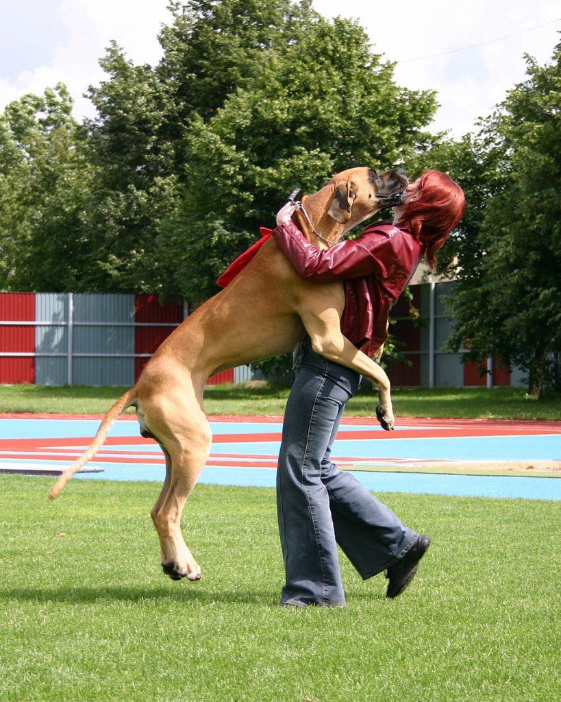 Great dane jumps up - great dane personality