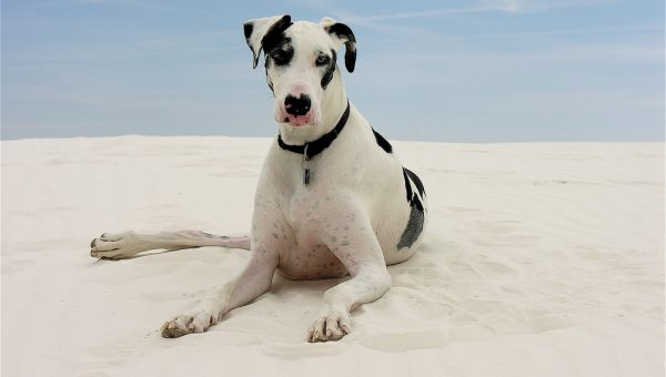 Get to Know a Great Dane