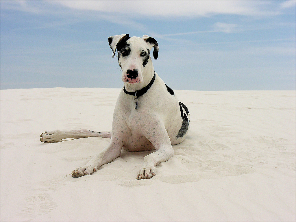 Great Dane on the beach - Great Dane personality