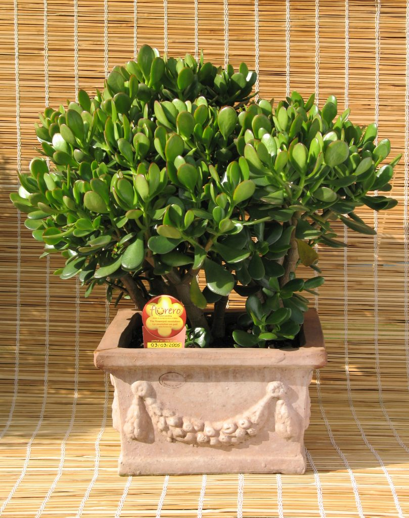 Jade - poisonous plants for dogs