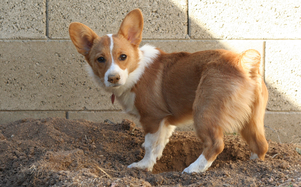 Little corgi - what does my dog say about me?