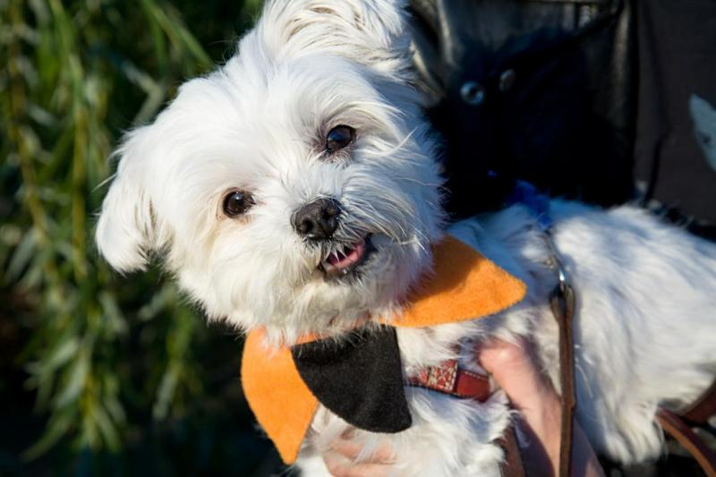 Maltese Best Dogs For Apartments