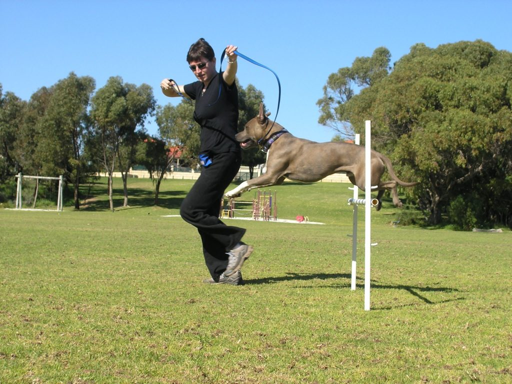 Pit bull jumping - pit bull personality
