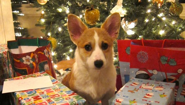 These 11 Adorable Puppies Have Christmas Spirit DOWN