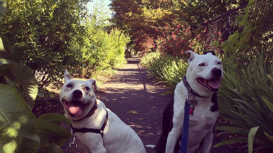 Two pit bulls