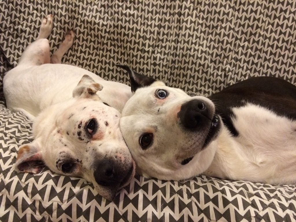 Pit bulls snuggling on the couch