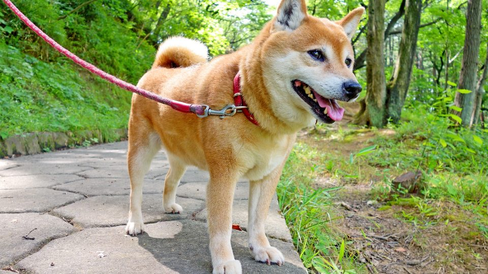 Shiba Inu - dog breeds
