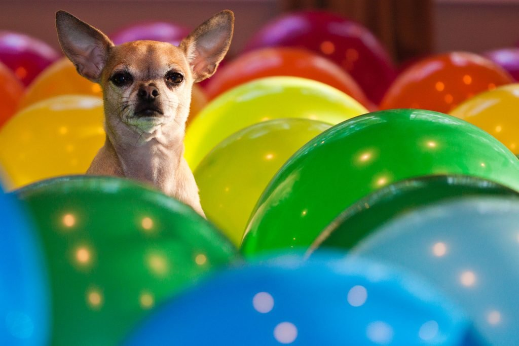 Chihuahua in balloons - chihuahua personality