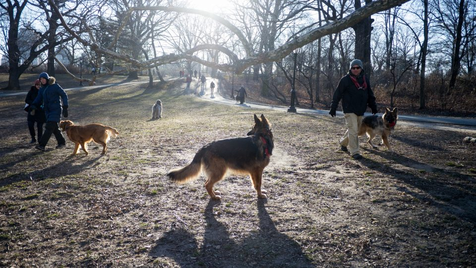 Dogs in Central Park - NYC dog laws
