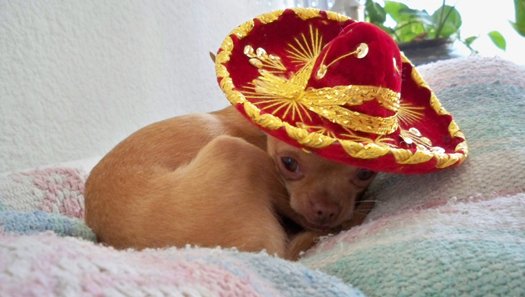 Chihuahua personality - curled up in a sombrero