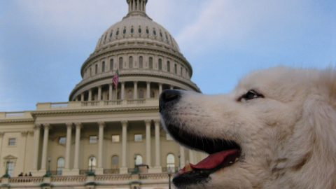 Dog at the Capitol building - best dog friendly restaurants in washington dc
