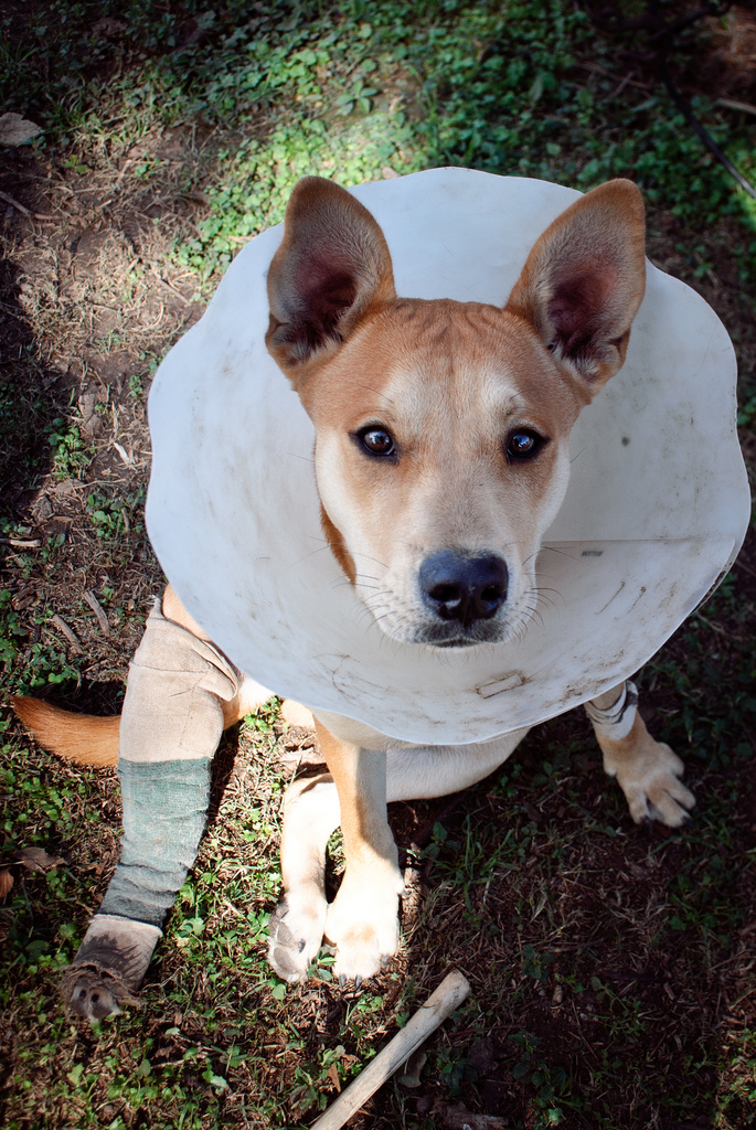 Dog in a cone - dog health insurance