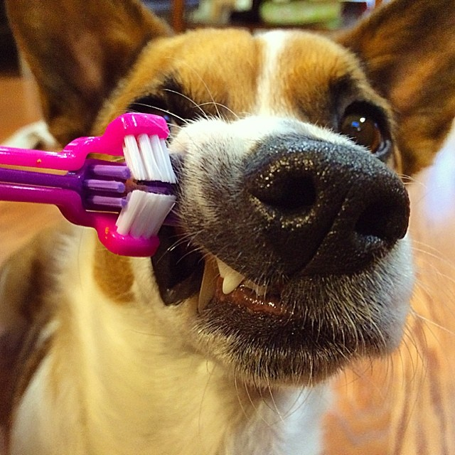 Dog getting his teeth brushed - my dog has bad breath