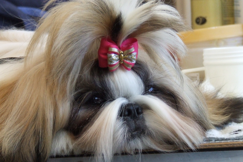 Pampered dog with bow