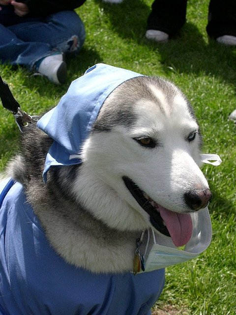 Dog in doctor costume - can dogs smell cancer?