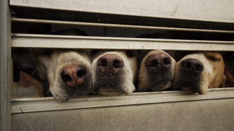 Four dog snouts - can dogs smell cancer