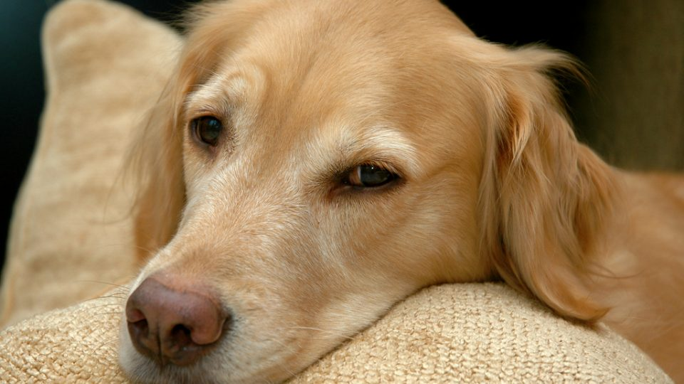Golden retriever pillow - best dog friendly san francisco restaurants