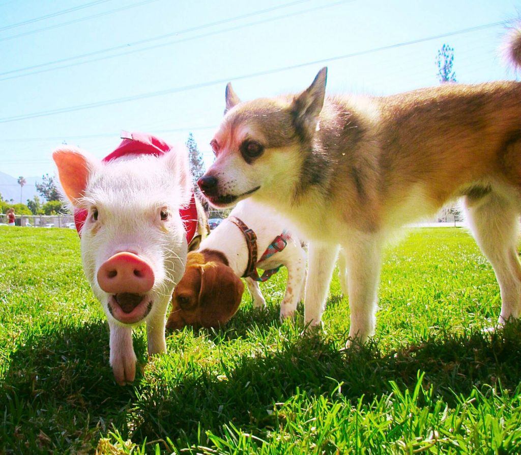 Hammy and dog - Hamlet the Pig