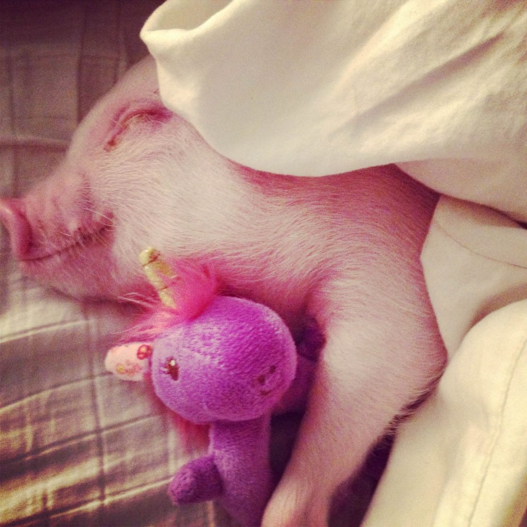 Hammy with toy - Hamlet the Pig