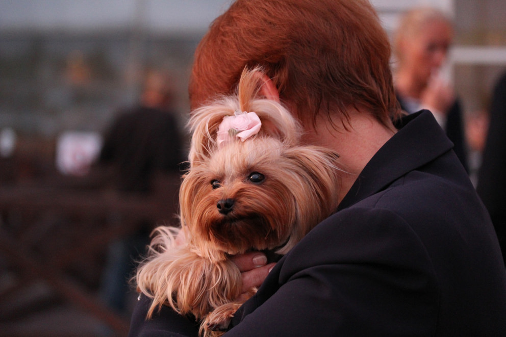 Yorkshire terrier - NYC dog lovers