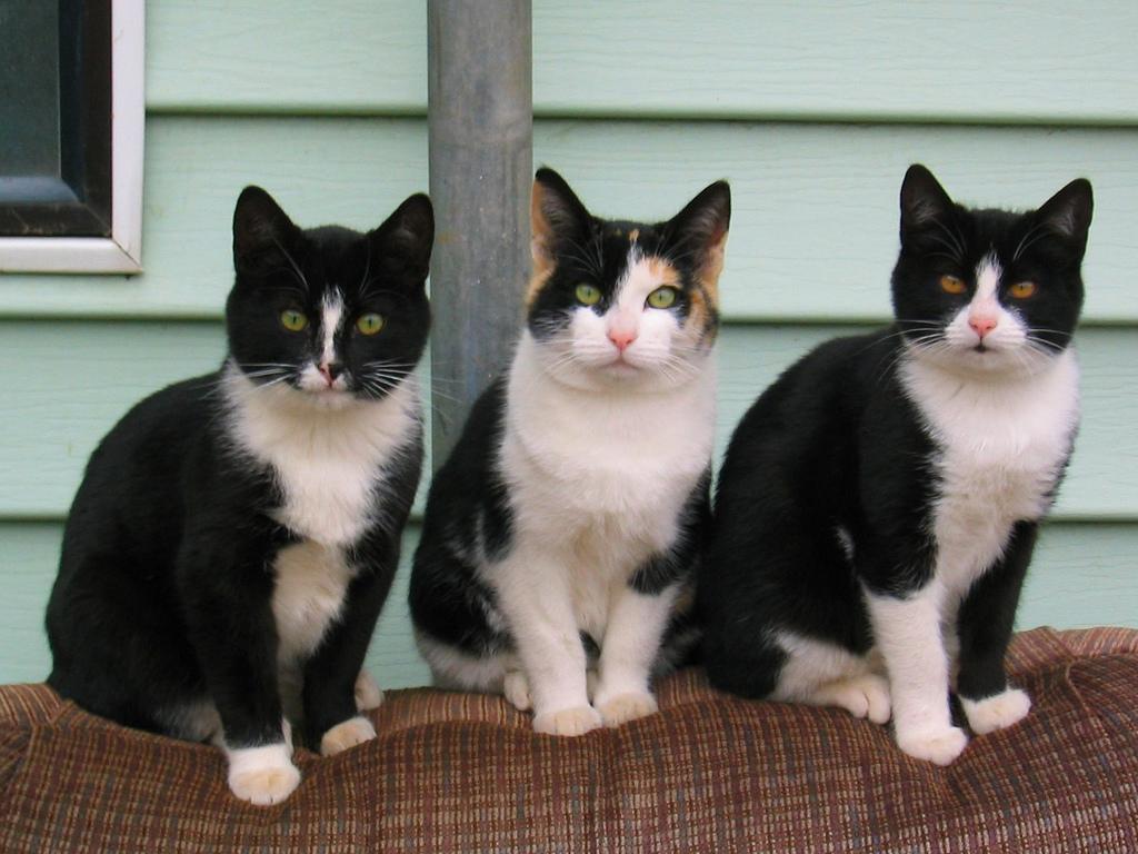 Three spooky cats - toxoplasma gondii