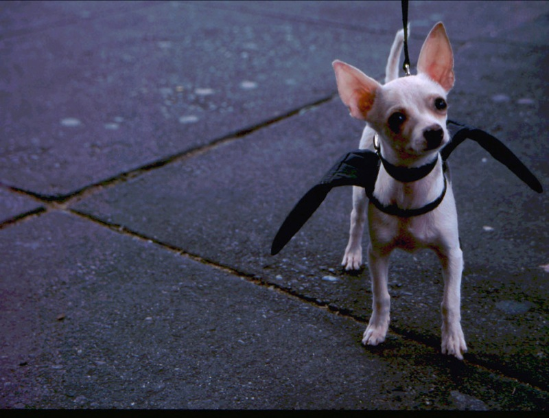 Tiny bat dog