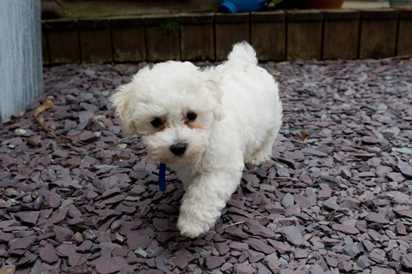 Bichon Frise - where do small dogs come from