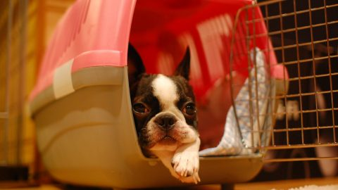 Boston terrier - where do small dogs come from?