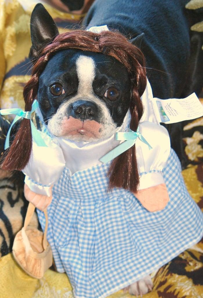 Boston terrier in Dorothy costume