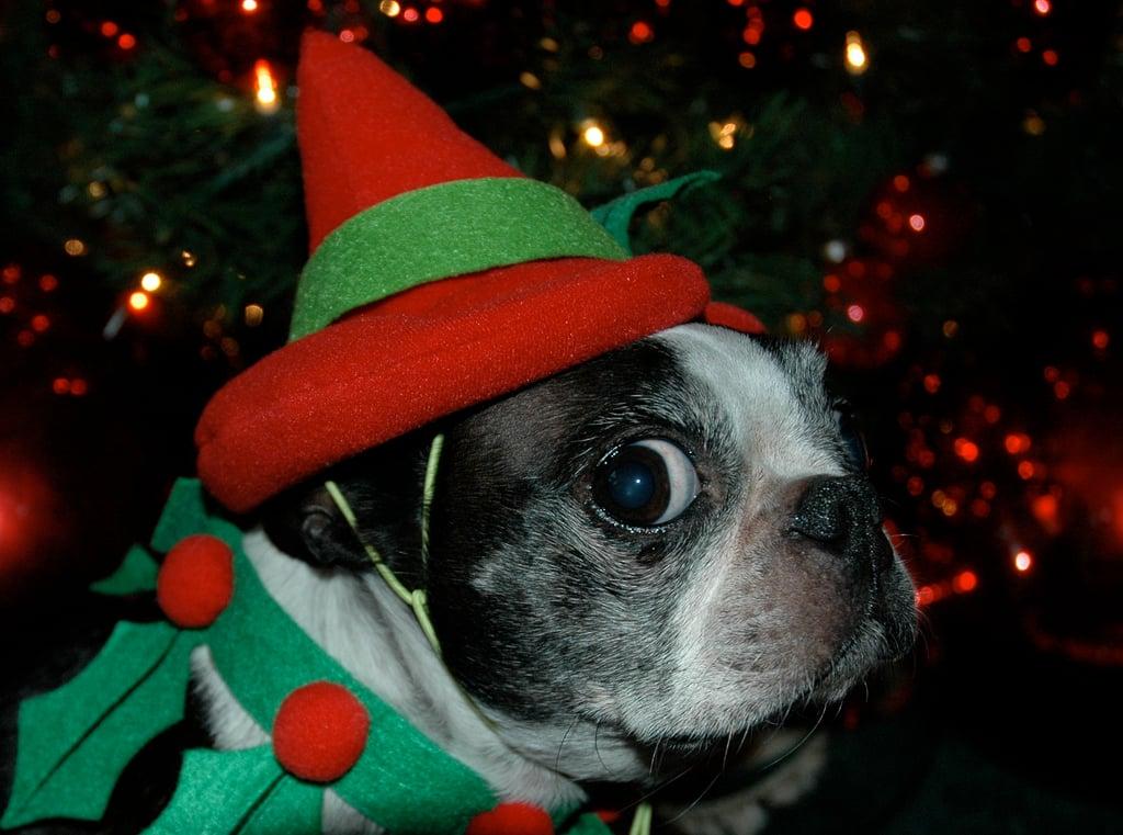 Boston terrier costume elf