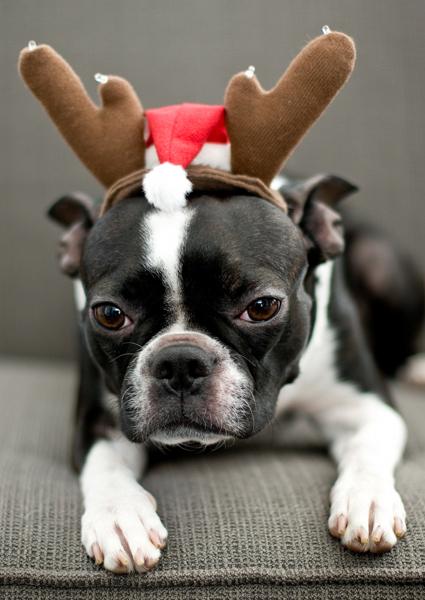 Reindeer Boston terrier costume