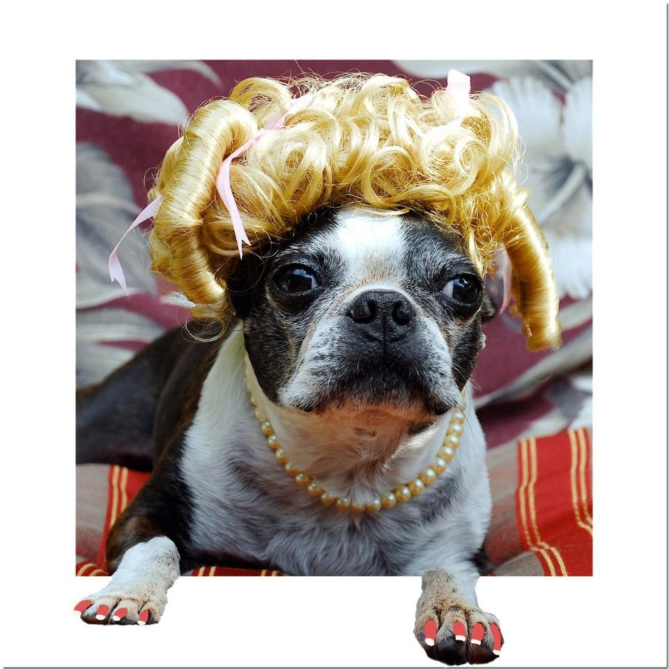 Boston terrier in a wig
