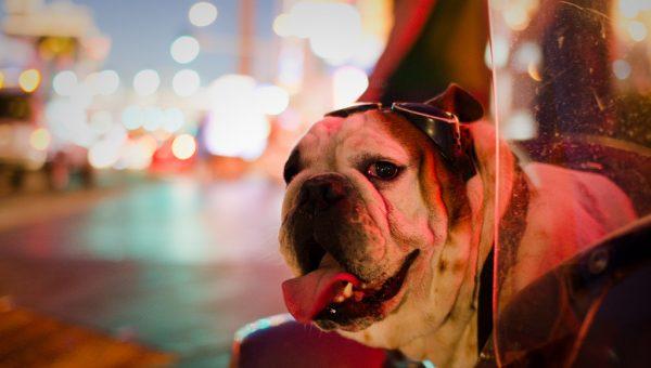 Bulldog in Las Vegas