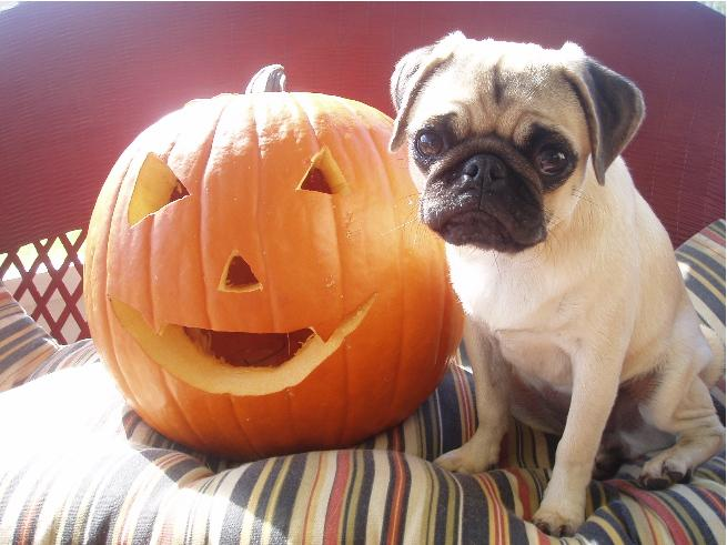 These 13 Pugs Are Ready For Fall And They Re Not Leaving