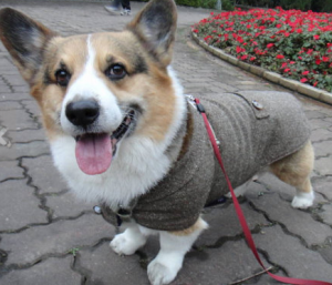 Corgi outfit - fall fashion for dogs