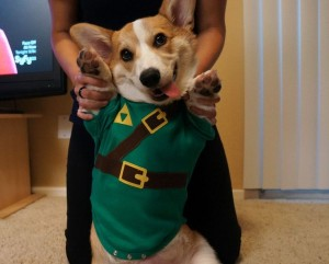 Corgi in a costume