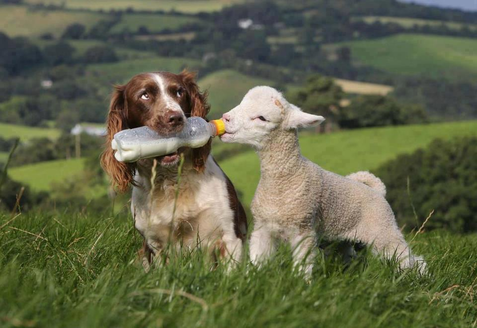 Dog feeding a lamb