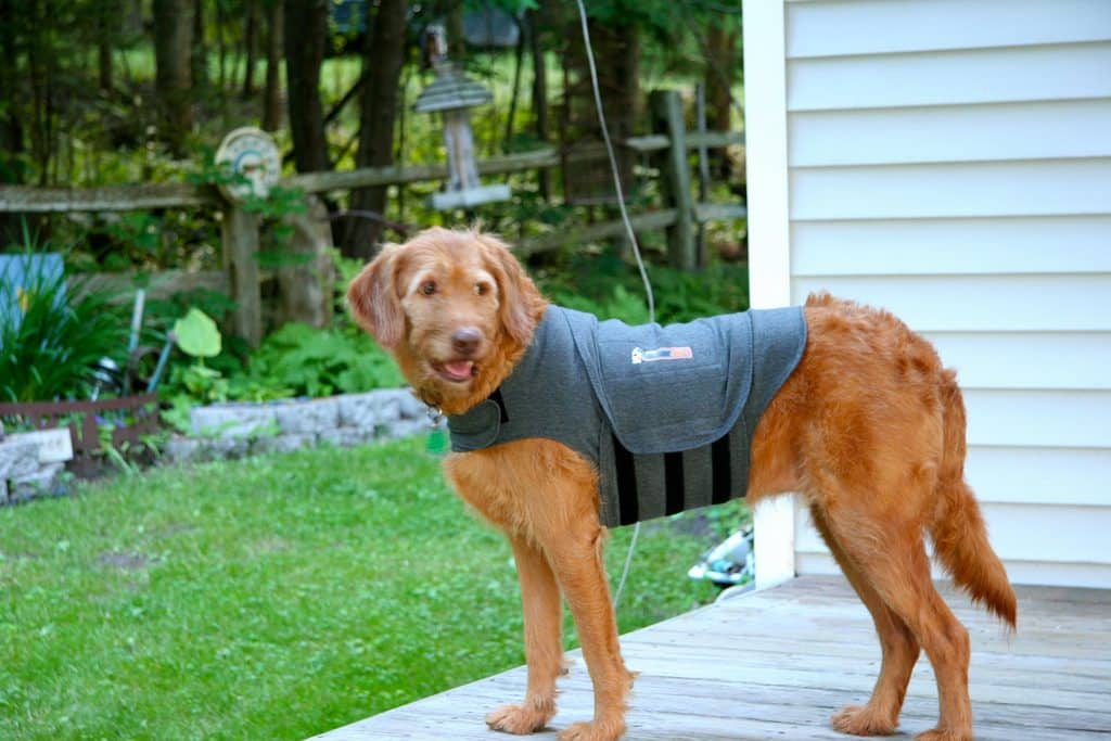 Dog in a Thundershirt - common dog fears