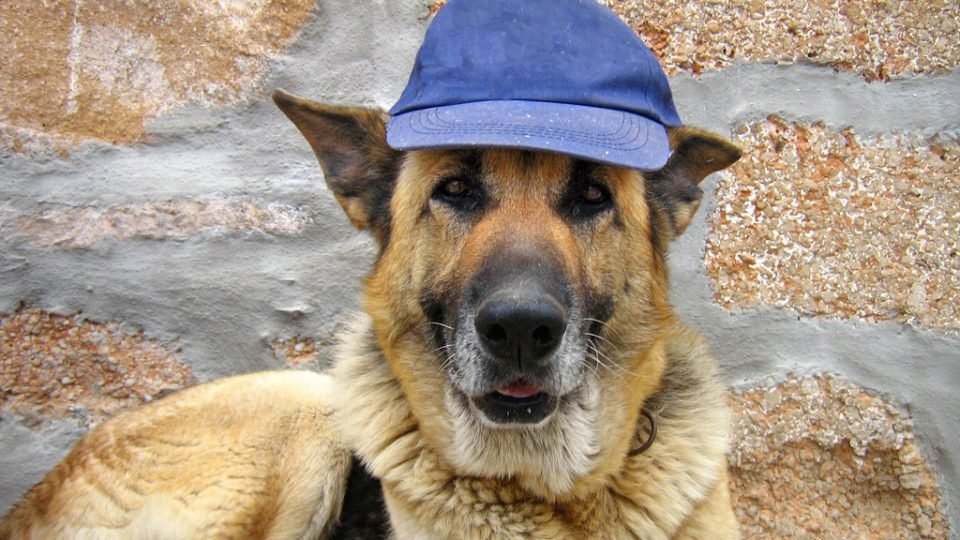 German shepherd wearing a baseball cap