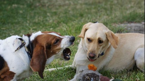 Dog growling - tips for training a territorial dog