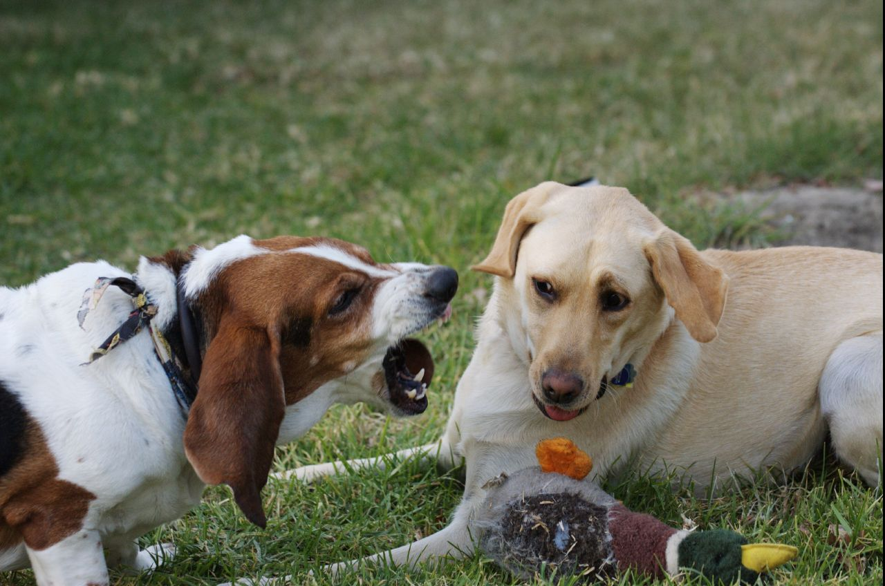 6 Tips For Training Your Territorial Dog Rover Com