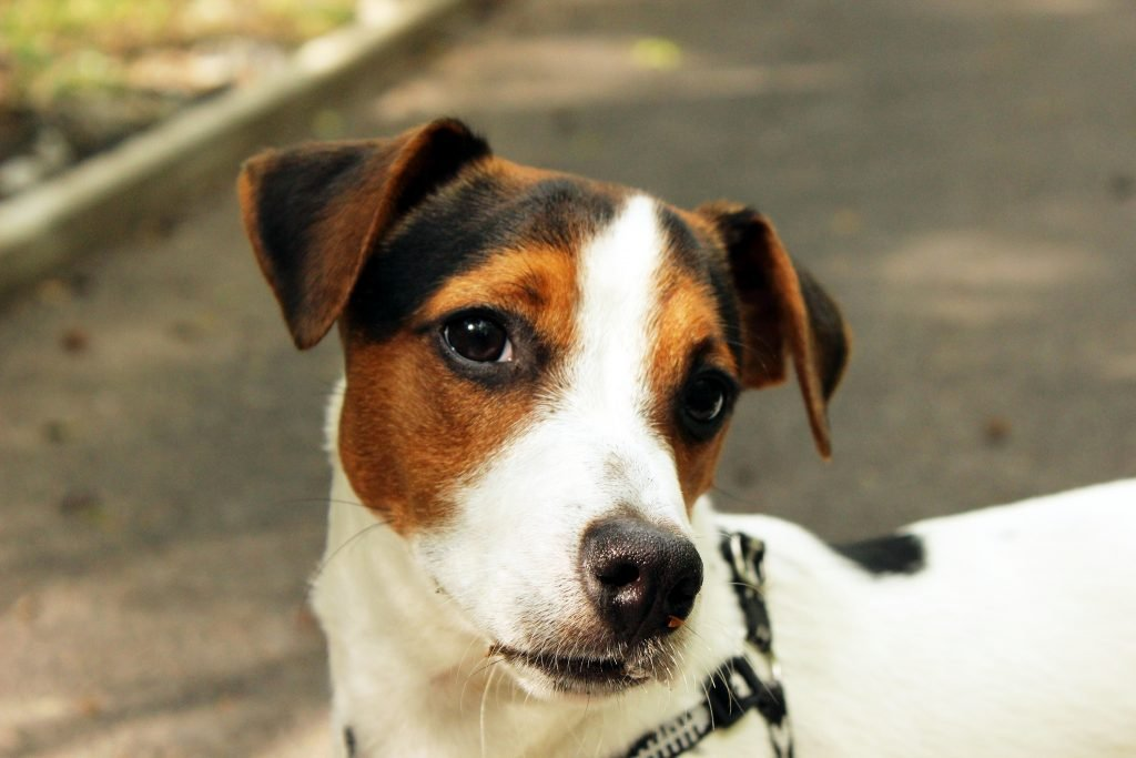 Jack Russell terrier - where do small dogs come from?